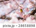 メジロ 桜 桜の木の写真 28658898
