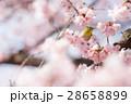 メジロ 小鳥 桜の写真 28658899
