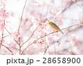 メジロ 桜 桜の木の写真 28658900