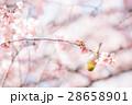 メジロ 桜 桜の木の写真 28658901