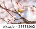 メジロ 桜 桜の木の写真 28658902