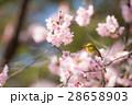 メジロ 桜 桜の木の写真 28658903