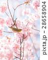 メジロ 桜 桜の木の写真 28658904