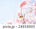 メジロ 小鳥 桜の写真 28658905