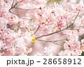 メジロ 桜 桜の木の写真 28658912