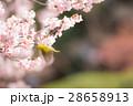 メジロ 桜 桜の木の写真 28658913