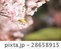 メジロ 小鳥 桜の写真 28658915