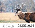 牡鹿 動物 野生の写真 28661984