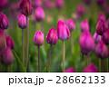 花 紫 春の写真 28662133