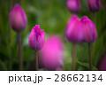 花 紫 春の写真 28662134