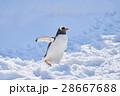 ジェンツーペンギン 温順ペンギン ペンギンの写真 28667688