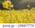 菜の花 28667770