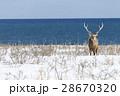 雪原のエゾジカ 28670320