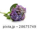 Beautiful hydrangea flower 28675749