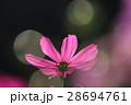 花 コスモスの花 センセーションの写真 28694761