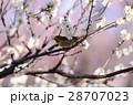 梅林 メジロ 花の写真 28707023