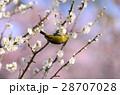 梅林 メジロ 花の写真 28707028