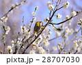 メジロ 梅林 花の写真 28707030