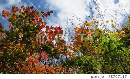 光を受けたもみじ / The maple trees in the light 28707117