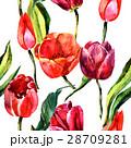 水彩画 水彩 チューリップのイラスト 28709281