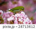 桜 河津桜 目白の写真 28713612