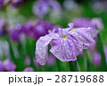 菖蒲 アヤメ 花の写真 28719688