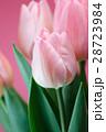 チューリップの花 28723984