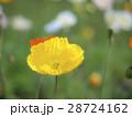 花びら ポピー アイスランドポピーの写真 28724162