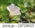 花 植物 ヒルガオ科の写真 28728025