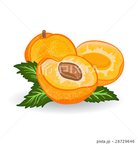 Apricot. Vector painting on white background 28729646