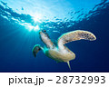 アオウミガメ 28732993