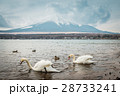 Swans with Mt.Fuji 28733241