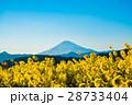 菜の花 富士山 青空の写真 28733404