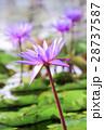 Softly focus purple lotus flower 28737587
