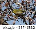 花 寒桜 桜の写真 28746332