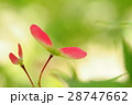 種 カエデ 植物の写真 28747662