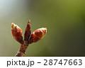 自然 植物 シュゼンジカンザクラ、二月初めの冬芽です。半ばころにはちらほら咲きはじめそうです 28747663