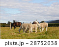 Alpacas and horses at the farm with sky & mountain 28752638