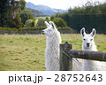 Alpaca looking at camera 28752643
