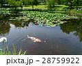 ハスの咲く池を泳ぐニシキゴイ 28759922