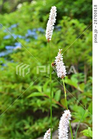 夏のくじゅう山 高山植物の花の咲く風景 28760818
