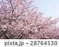 カワヅザクラ 河津桜 サクラの写真 28764530