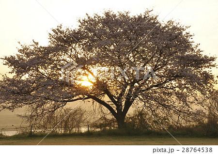 満開の桜に朝焼け 28764538