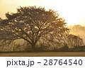 満開の桜に朝焼け 28764540