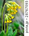 Cowslip flowers (Primula veris) 28767093