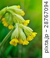 Cowslip flowers (Primula veris) 28767094