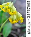 Cowslip flowers (Primula veris) 28767095