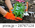 Gardeners hands planting flowers Forget-me-not 28767128