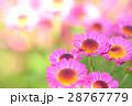 小菊 花 クローズアップの写真 28767779