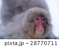 地獄谷野猿公苑のスノーモンキー 28770711